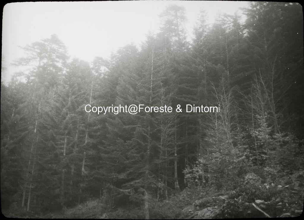 Korsika, Col di Vergio, junge Abies und Fagus unter Pinus nigra