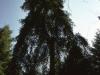Selva  degli Abeti