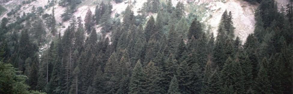 L'abete (Abies alba Mill.) nel massiccio dell'Argentera