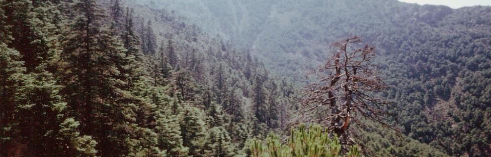 L'abete spagnolo – Abies pinsapo Boiss.