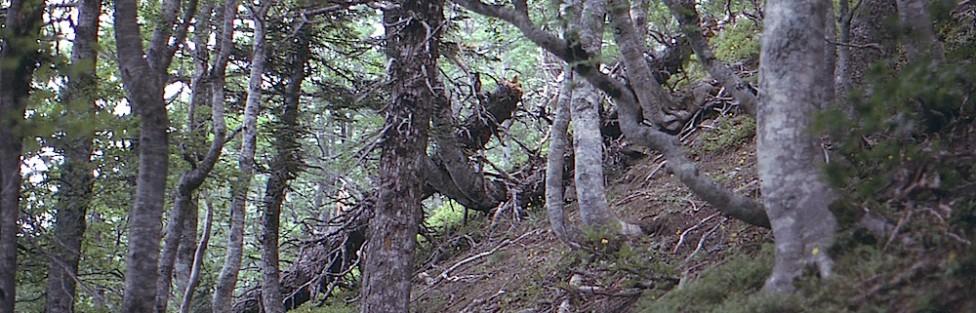L'abete (Abies alba Mill.) dei Monti della Laga